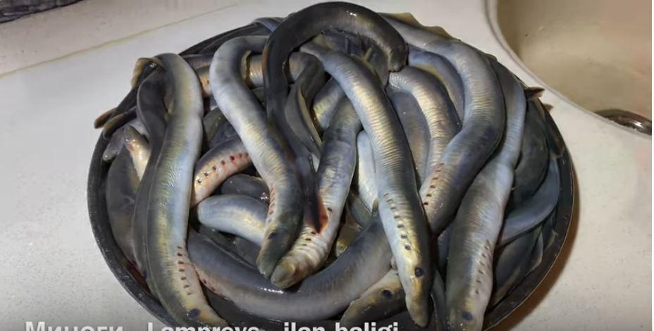 İlan balığından kabab-  Hazırlanma qaydası – VİDEO