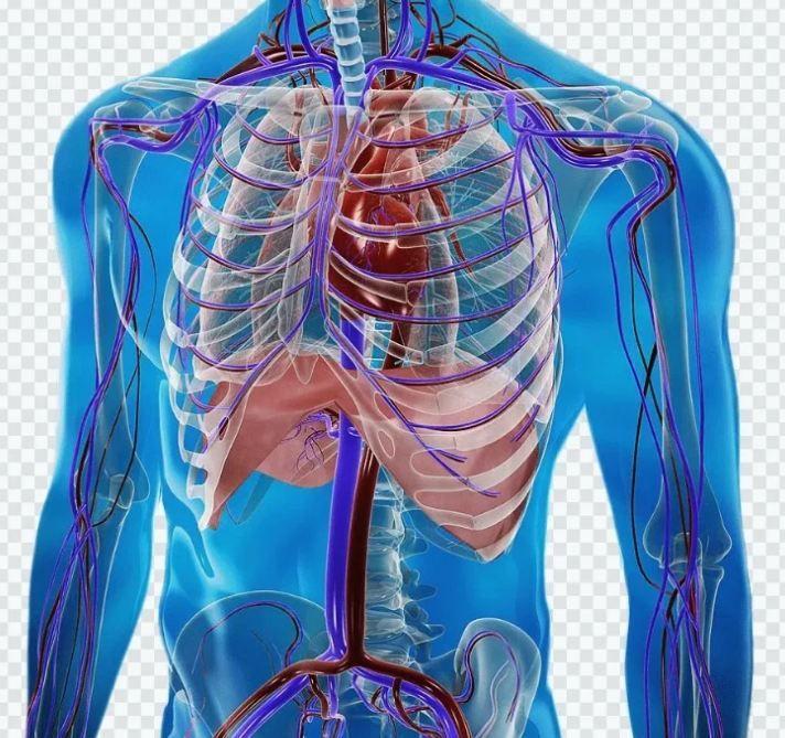 İnsan orqanizmində ikinci ürək var, onu aktivləşdirin   –  Akademik Zalmanovun sirri