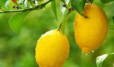 Bu şəxslərə limon yemək qəti qadağandır -  VİDEO