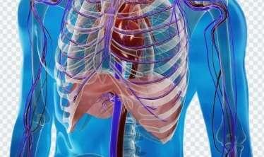 İnsan bədənindəki ikinci ürək hardadır?  - Akademikin sirri