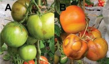 Azərbaycanda pomidorlarda virus yayılır?