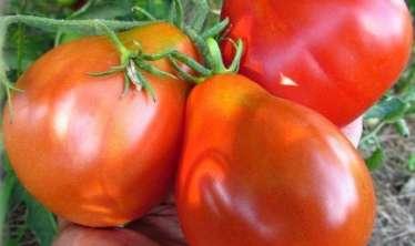 Yüksək təzyiqi salan xüsusi pomidor  satışa çıxarıldı
